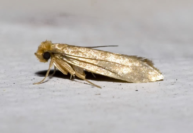 common-clothes-moth
